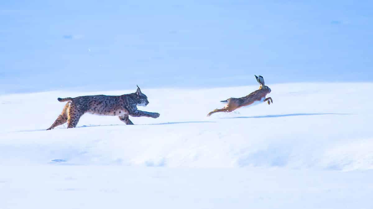 Capta el genial instante en el que un lince persigue a una liebre sobre la nieve en Toledo