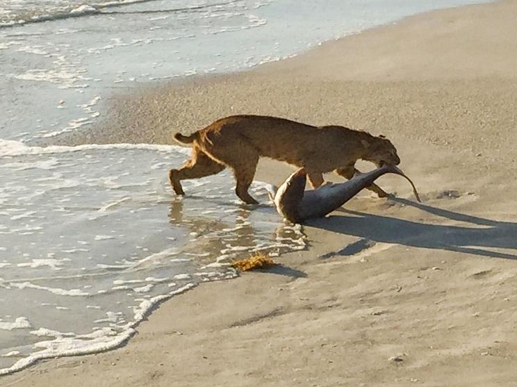lince pescando