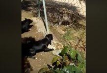lince planta cara a dos perros