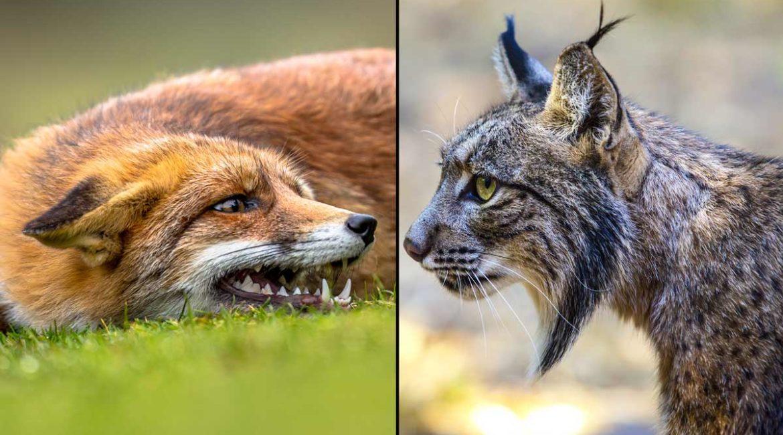 Un lince y un zorro se enzarzan en una pelea a muerte