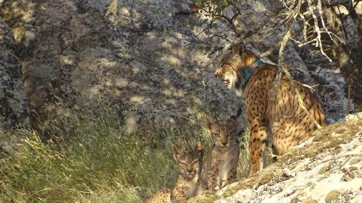 Los cazadores ayudarán a disminuir las muertes de linces por atropello trasladando conejos de cunetas en CLM