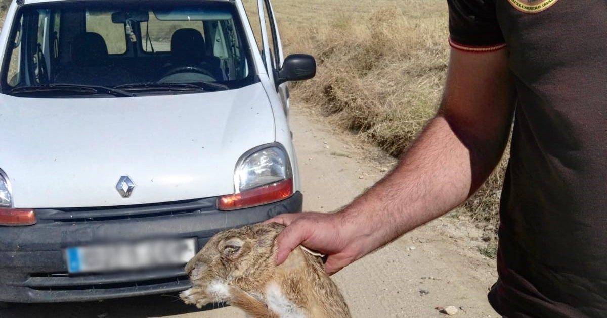 Llega a Madrid la mixomatosis que afecta a las liebres