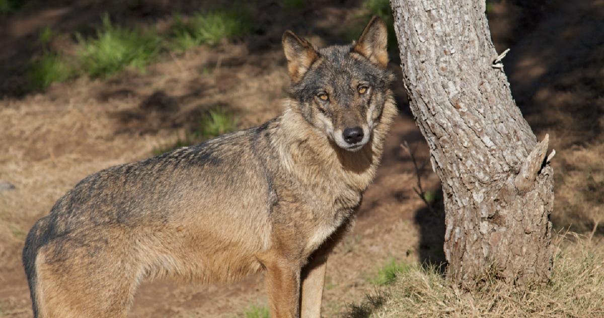 Un lobo ataca a un hombre en Zamora hiriéndolo de gravedad