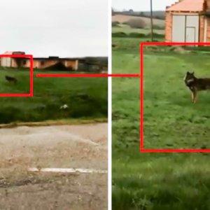 Graban a un lobo deambulando por un pueblo de Palencia a plena luz del día