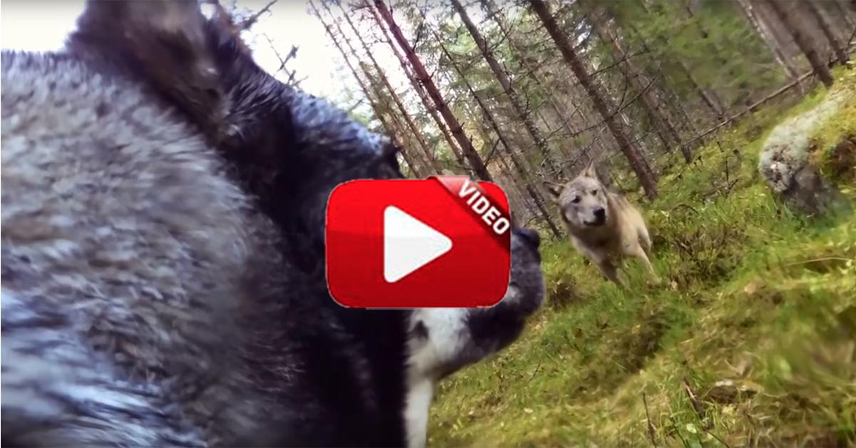 Dos lobos atacan a la perra de un cazador y una cámara deportiva lo graba