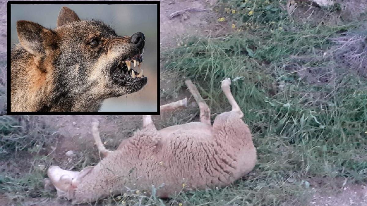 Podemos pide que se investigue la caza legal de un lobo que estaba arruinando a los ganaderos de un pueblo de Lugo