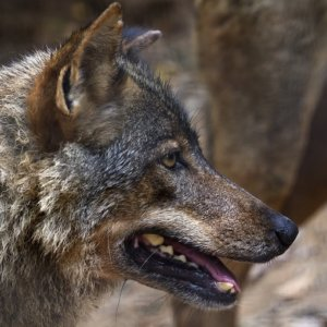 Los ganaderos alemanes podrán disparar al lobo si reciben su «amenaza»