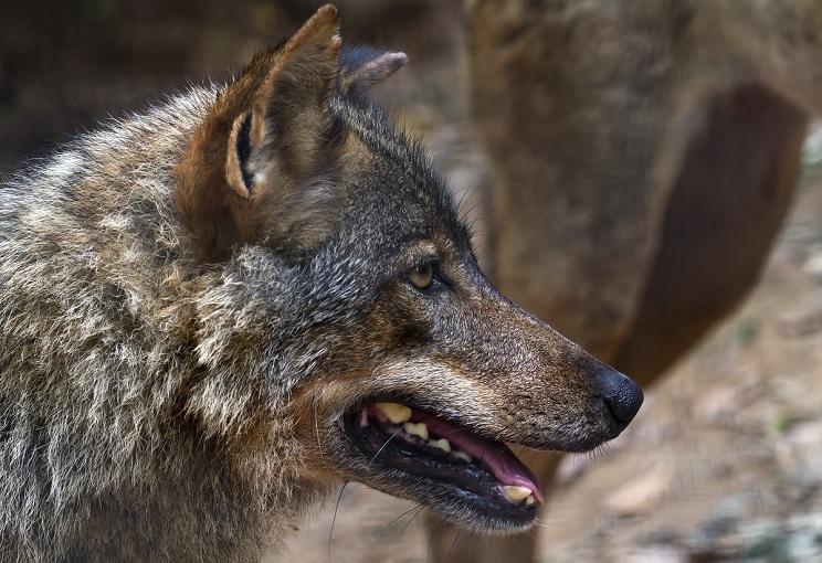 Los ecologistas consiguen que se paralice la gestión del lobo al norte del Duero