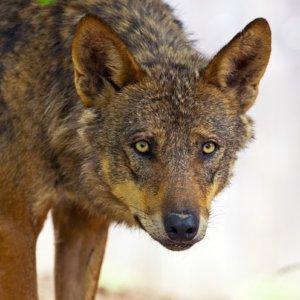 Varapalo judicial a los ecologistas: el lobo se debe seguir controlando en Cantabria