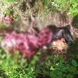 Los lobos devoran a varios perros mientras cazaban en Asturias