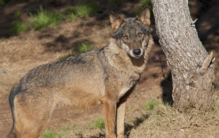 La Junta de CyL indemniza con 9.261 euros a un cazador al que decomisó un lobo