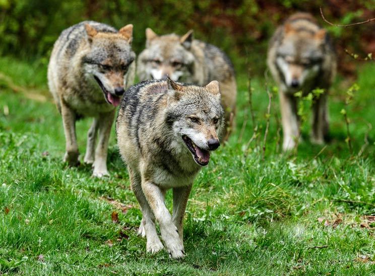 Alemania autoriza la caza de lobos si atacan al ganado (a pesar de tener muchos menos que España)