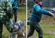 lobo ataca
