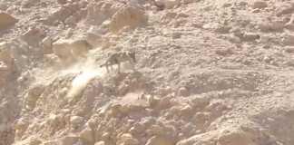 lobo ataca cabra.