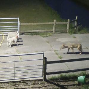 Una cámara de seguridad graba a un lobo atacando a un rebaño de ovejas en plena noche