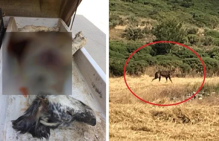 Confirmado: el lobo mata a la perra de un cazador de codornices en Burgos