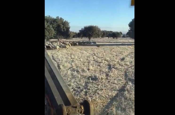 Graban a un lobo atacando un rebaño de ovejas a plena luz del día