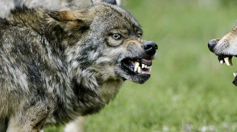 Los agentes de Medio Ambiente denuncian inseguridad al comprobar los daños del lobo en Salamanca