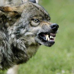 Un cazador mata un lobo que atacaba a sus perros y ahora puede ser condenado