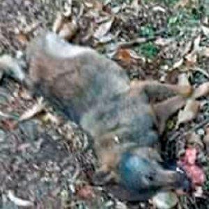 Muere un lobo atropellado a pocos metros de un colegio