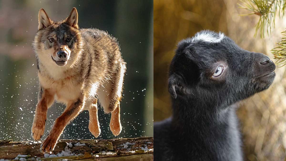 Un lobo protagoniza una huída de película tras apresar un cabrito en un rebaño
