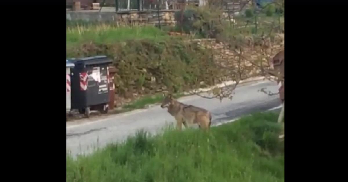 Graban a un lobo a plena luz del día caminando por las calles de un pueblo