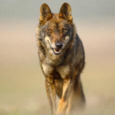 Mañana acaba el plazo para alegar contra el blindaje del lobo, así puedes hacerlo