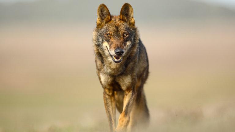 lobo caza