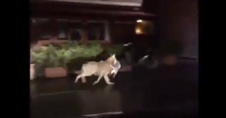 lobo caza gato pueblo