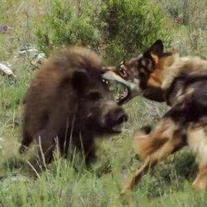 Un bravo jabalí lucha contra un lobo que intenta darle caza