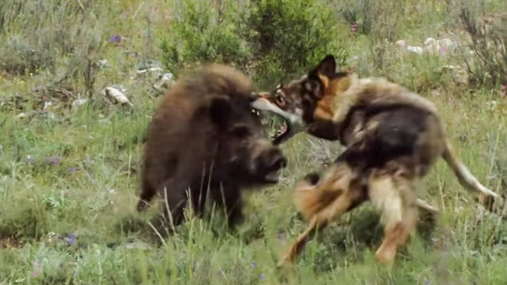 lobo vs jabalí