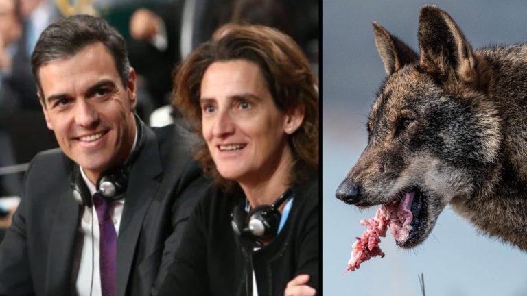 Pedro Sánchez y Teresa Ribera junto a un lobo ibérico. © Shutterstock