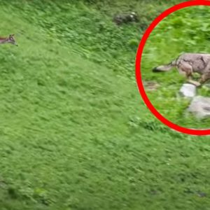 Una cierva intenta dar caza a un lobo: el cuento al revés
