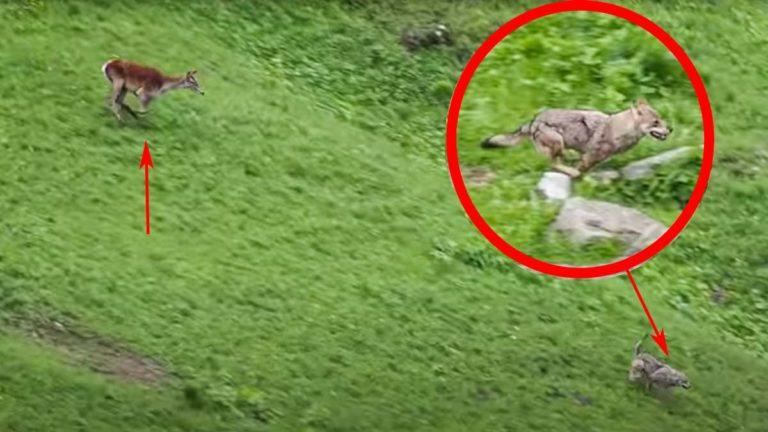 La cierva tras el lobo. / YouTube