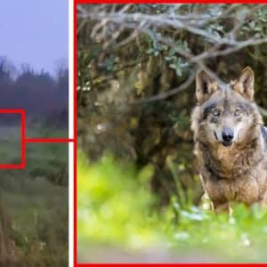 Un cazador graba a un lobo a 400 metros de un colegio en La Coruña