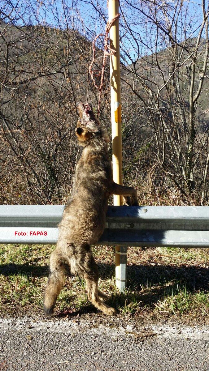 Lobo hallado en Asturias recientemente, cerca del puerto de xxx. / FAPAS