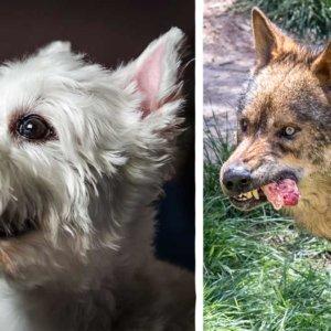 Un lobo entra en un pueblo de Galicia y se lleva un perro para devorarlo