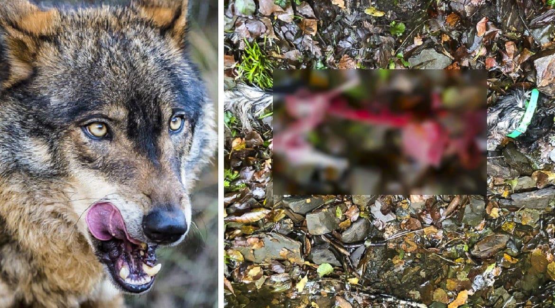 El lobo se come al perro de un cazador a tan sólo 100 metros de un pueblo