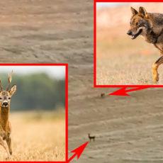 Un cazador está recechando un corzo cuando aparecen dos lobos tras él: esta es su reacción