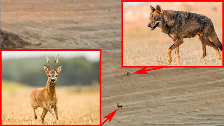 Los dos lobos rodeando al corzo. /Bigtrophy
