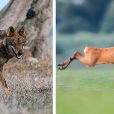 Avistan a un lobo intentando cazar a un corzo junto a un pueblo donde había matado dos ovejas