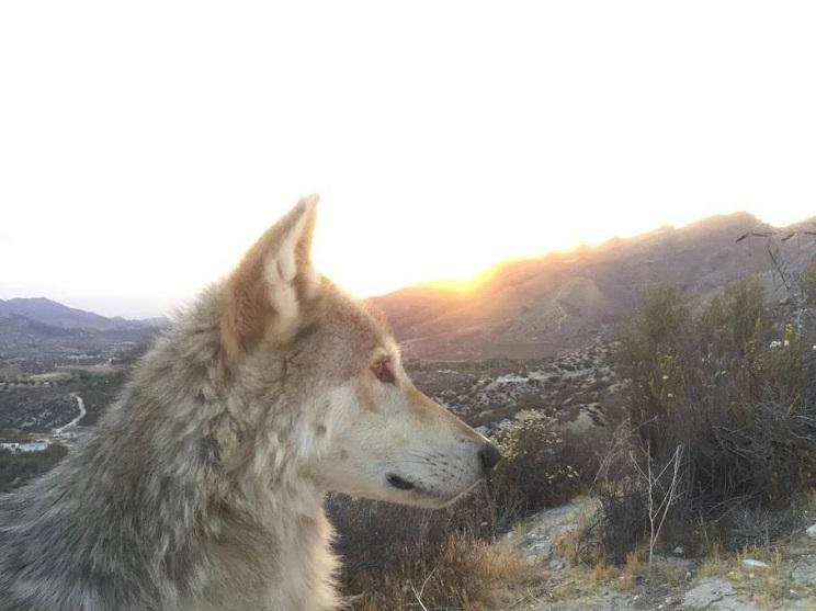 perro lobo sorpresa