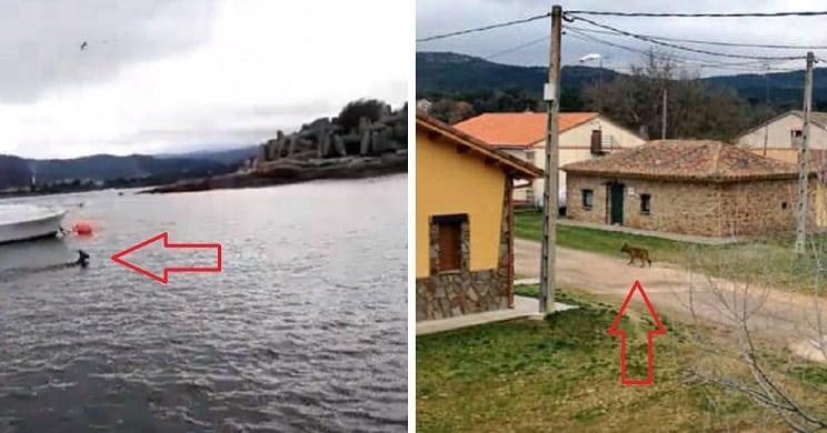Un lobo en un pueblo y un corzo en el mar, las imágenes más raras de la semana
