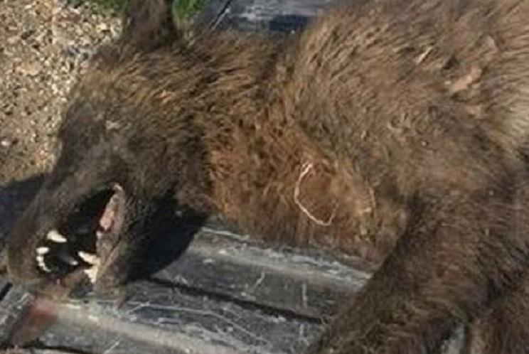 Capturan una extraña criatura que «parece un lobo»