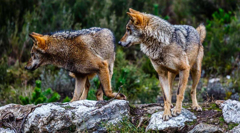 Artemisan denuncia que el borrador del MITECO sobre el lobo es un ataque al medio rural