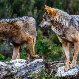 Educadores, psicólogos o ecologistas sin estudios: así son los 300 «científicos» de WWF en contra de la caza del lobo