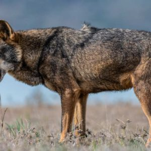 Absueltos dos cazadores que estaban acusados de matar un lobo en una montería
