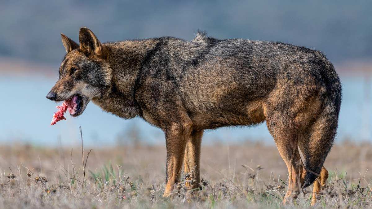 Artemisan planta cara a Ecologistas en Acción por su demanda contra el Plan de Gestión del Lobo en Cantabria