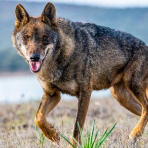 ¿Por qué prohibir la caza del lobo en España puede ser negativo para la especie?