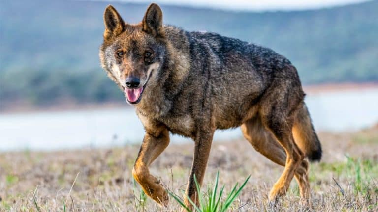 Lobo ibérico. © Shutterstock